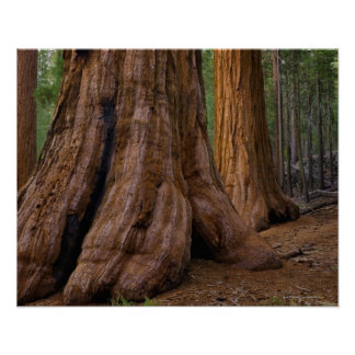 USA, California, Giant Sequoia tree Poster