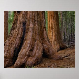 USA, California, Giant Sequoia tree Poster