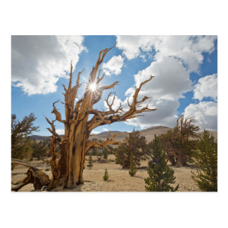 USA, California, Inyo National Forest 6 Postcard