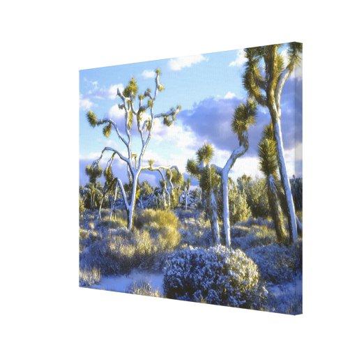 USA, California, Joshua Tree National Park. Stretched Canvas Prints