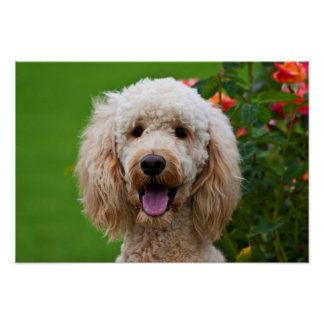 USA, California. Labradoodle Looking At You Poster