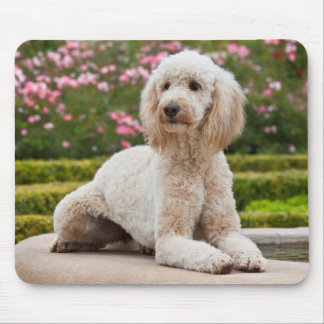 USA, California. Labradoodle Lying By Fountain Mouse Pad
