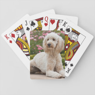 USA, California. Labradoodle Lying By Fountain Playing Cards