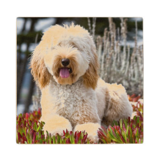 USA, California. Labradoodle Lying In Ice Plant Wood Coaster