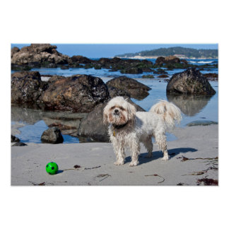 USA, California. Lhasa Apso Standing Poster