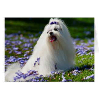 USA, California. Maltese Posing In Purple Card