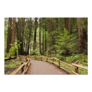 USA, California, Marin County, Muir Woods Poster