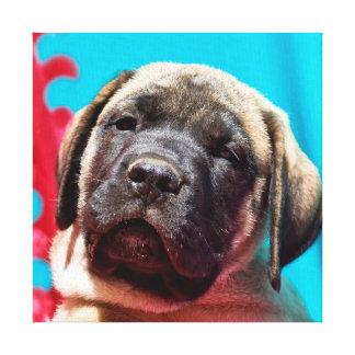 USA, California. Mastiff Puppy Looking At You Canvas Print