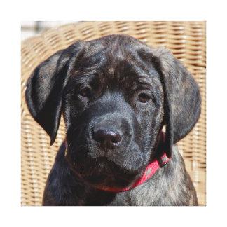 USA, California. Mastiff puppy looking at you. Canvas Print