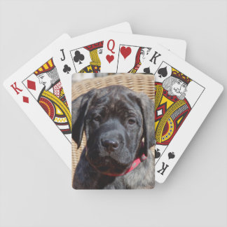 USA, California. Mastiff puppy looking at you. Playing Cards