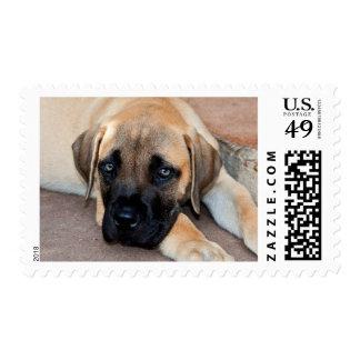 USA, California. Mastiff Puppy Lying On Cement Stamp