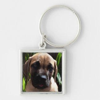 USA, California. Mastiff Puppy Portrait 2 Keychain