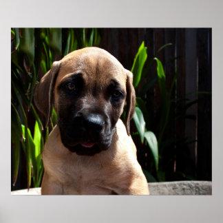 USA, California. Mastiff Puppy Portrait 2 Poster