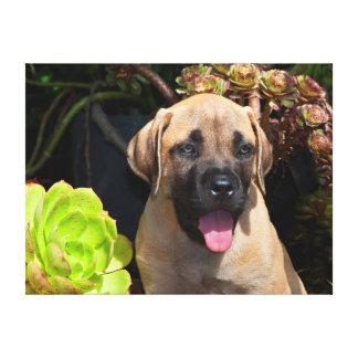 USA, California. Mastiff Puppy Portrait Canvas Print