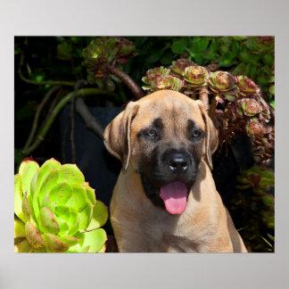 USA, California. Mastiff Puppy Portrait Print