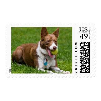 USA, California. Mcnab Shepherd Waiting Postage Stamps