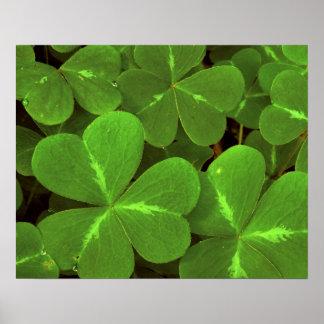 USA, California, Muir Woods. Close-up of clover Poster