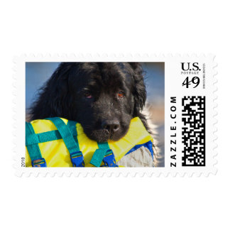 USA, California. Newfoundland With Life Vest Postage