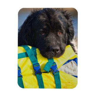 USA, California. Newfoundland With Life Vest Rectangular Photo Magnet