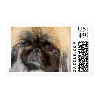 USA, California. Pekingese Close Up Postage Stamp