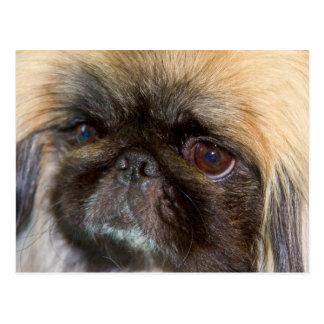 USA, California. Pekingese Close Up Postcard