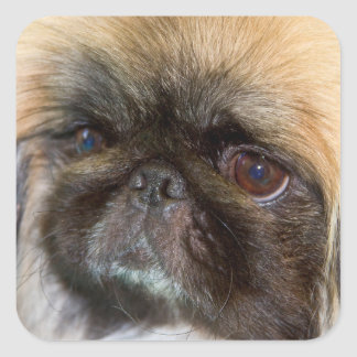 USA, California. Pekingese Close Up Square Sticker