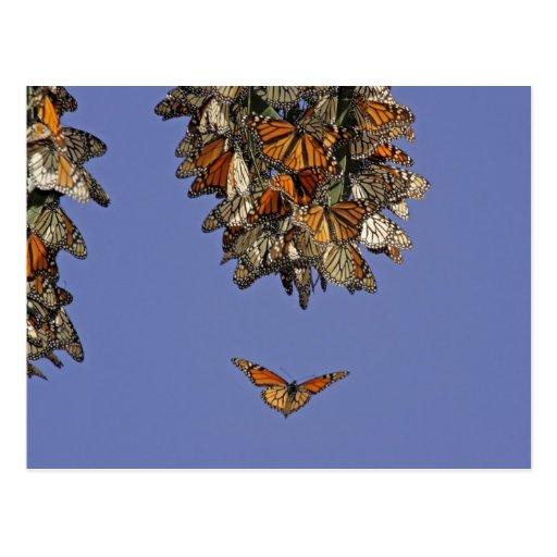 USA, California, Pismo Beach. Monarch Postcards
