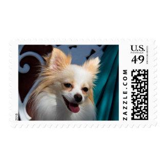 USA, California. Pomeranian Portrait Postage Stamp