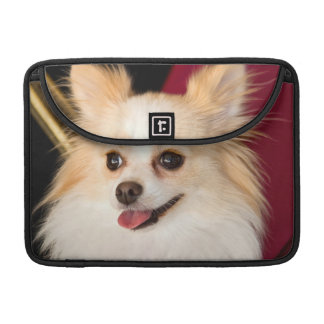 USA, California. Pomeranian Portrait With Red MacBook Pro Sleeve