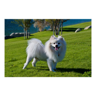 USA, California. Pomeranian Standing Poster
