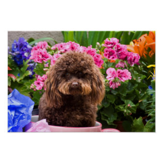 USA, California. Poodle Sitting In Pink Coffee Poster