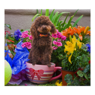 USA, California. Poodle Standing In A Coffee Cup Poster