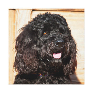 USA, California. Portrait Of A Black Labradoodle Canvas Print