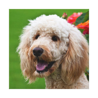 USA, California. Portrait Of Labradoodle 2 Canvas Print