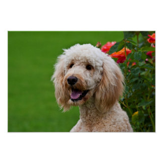 USA, California. Portrait Of Labradoodle 2 Poster
