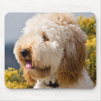 USA, California. Portrait Of Labradoodle 3 Mouse Pad