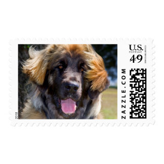 USA, California. Portrait Of Leonberger Sitting Postage