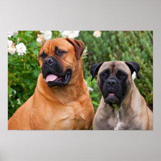 USA, California. Portrait Of Two Mastiffs Poster