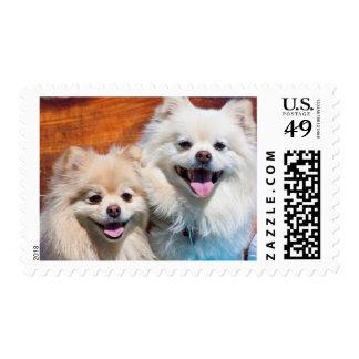 USA, California. Portrait Of Two Pomeranians Postage Stamp