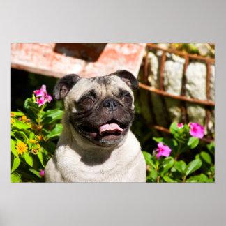 USA, California. Pug Portrait Poster
