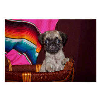 USA, California. Pug Puppy In A Wooden Basket Poster