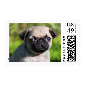 USA, California. Pug Puppy Looking At You Postage