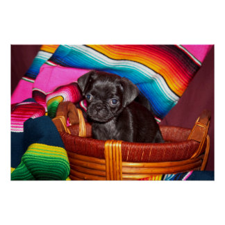 USA, California. Pug Puppy Sitting In Basket Poster