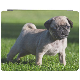 USA, California. Pug Puppy Standing In Grass 2 iPad Cover