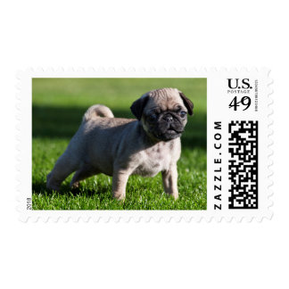 USA, California. Pug Puppy Standing In Grass 2 Postage