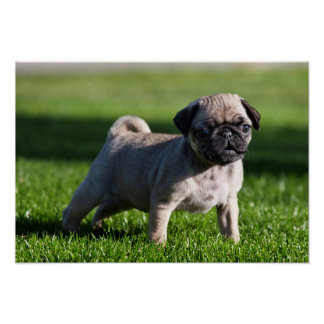 USA, California. Pug Puppy Standing In Grass 2 Poster