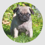 USA, California. Pug Puppy Standing In Grass Classic Round Sticker