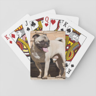USA, California. Pug Standing On Wooden Bench Card Deck