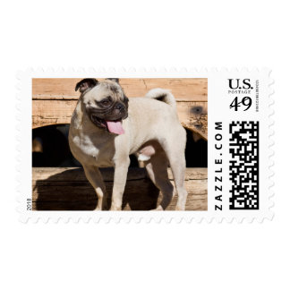 USA, California. Pug Standing On Wooden Bench Postage