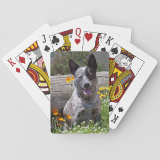 USA, California. Queensland Healer Sitting 2 Playing Cards